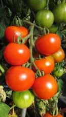 Garten Sorte Wildtomate Ampel// Balkon 15 Tomatensamen bolivianische Obsttomate